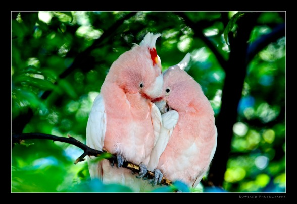 Lovebirds (c) Joseph Rowland 2009